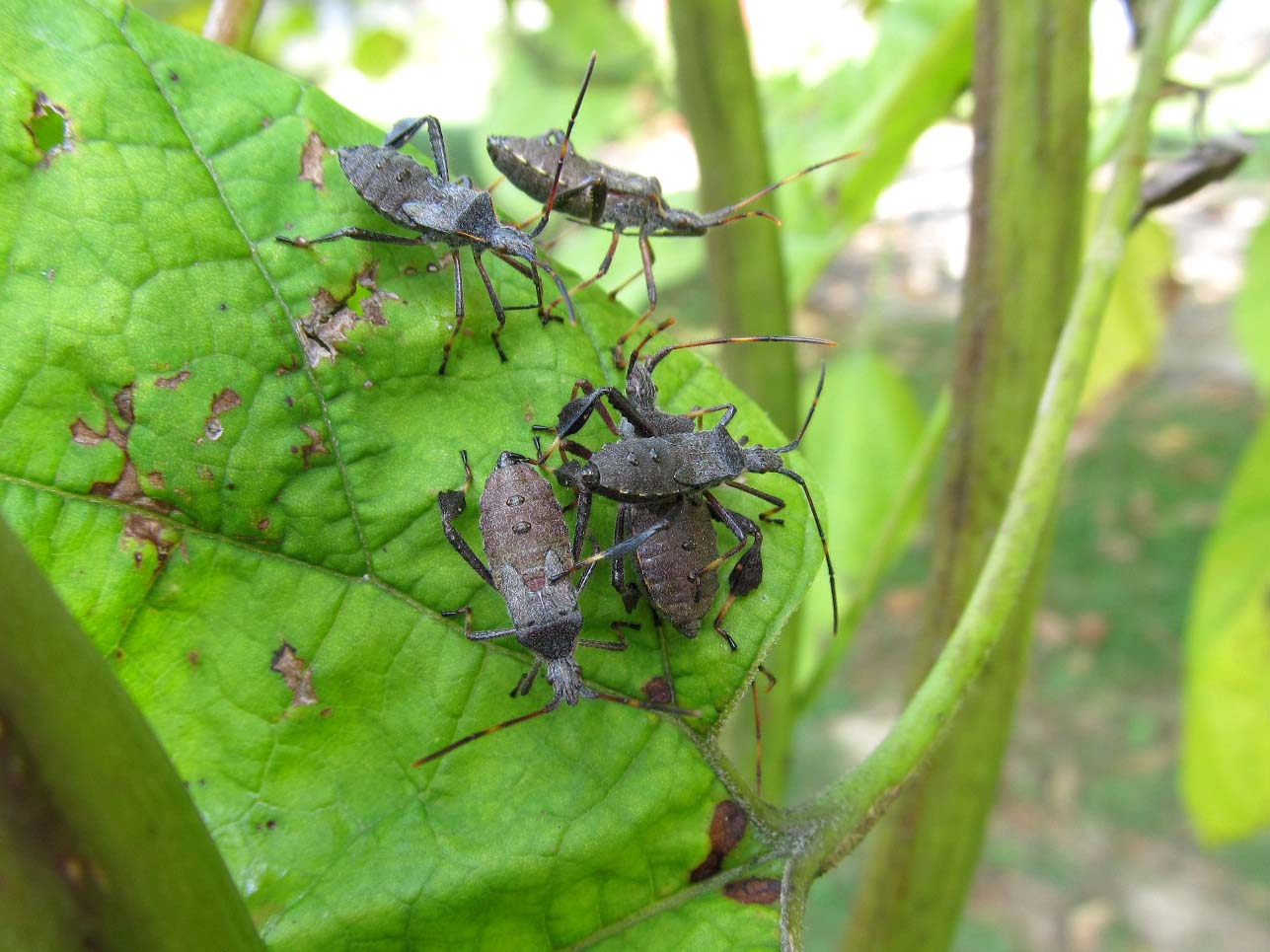 Leaf-footed Bugs   naturesnippets