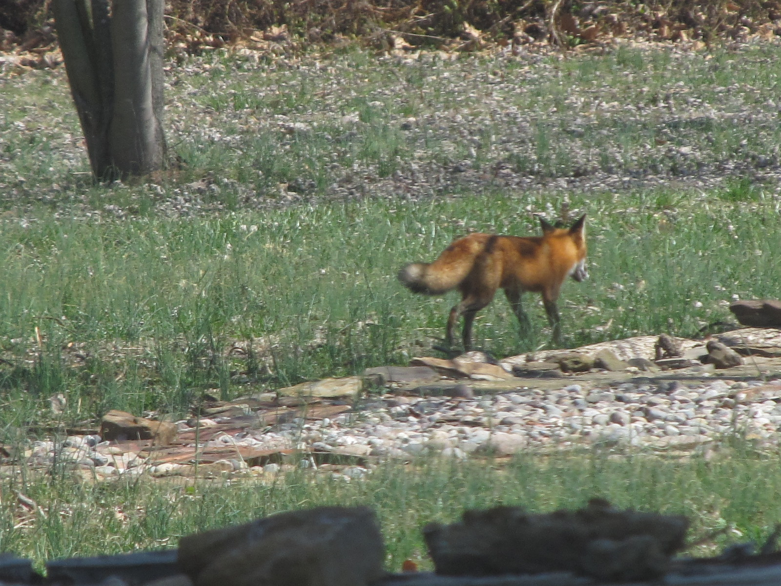 red fox naturesnippets