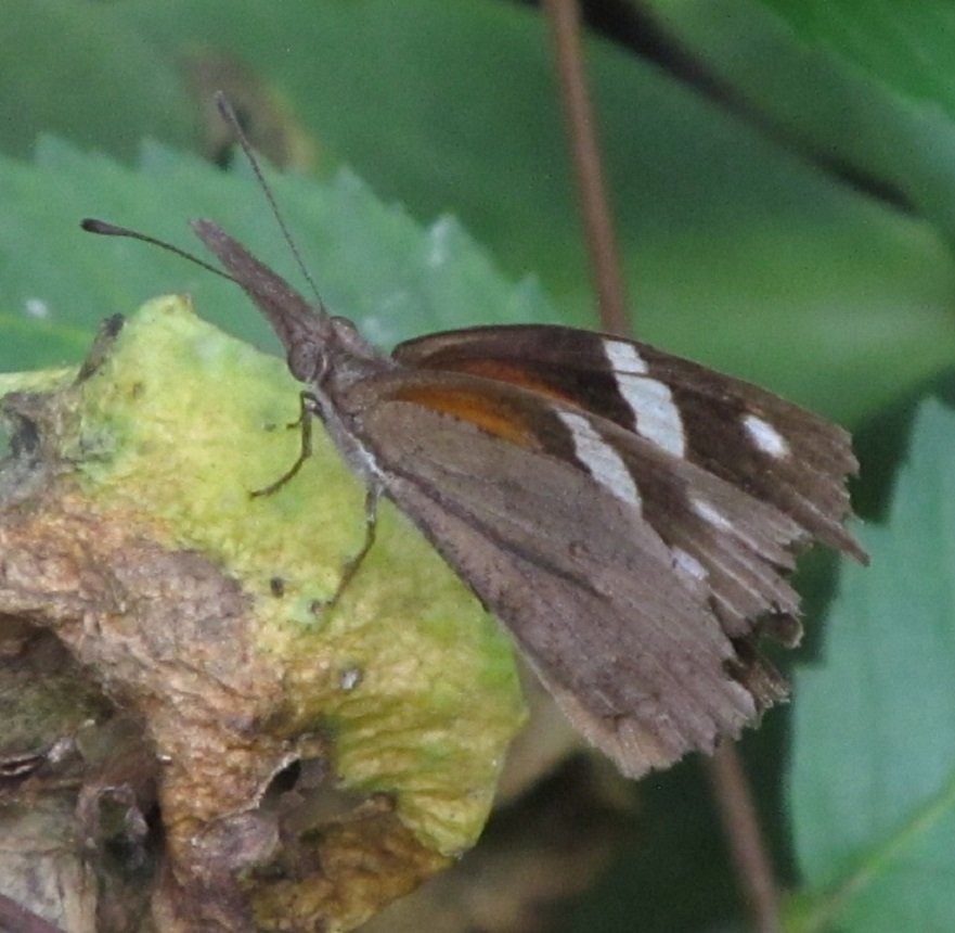A Snout Butterfly (Libytheana Carinenta) Flew Into My Butterfly Garden And  Landed Near Me.